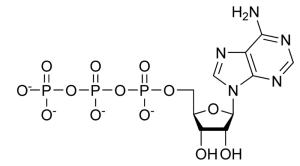 Adenosine tri-phosphate, The energy source of cells. Source.
