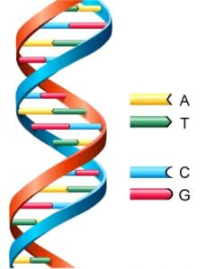 DNA (deoxy-ribonucleic acid) with the 4 main constituents A, T, C, and G. Source.