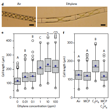 Figure 2 excerpt from Reference 4. Panel d shows Spirogyra algae after air and ethylene treatments. Panel e quantifies the response showing the algae responds to quite low concentrations of ethylene. Panel f shows that the response can be blocked with an inhibitor of ethylene, 1-MCP.