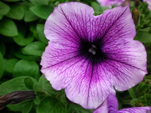 A petunia flower variety. They come in a lot of colors. Source.