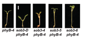the seedling phenotype of sob3-Dominant, and loss-of-function alleles. From Street et al. 2008