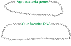 The difference between wild Agrobacterium and modified Agrobacterium used by scientists as a research tool.