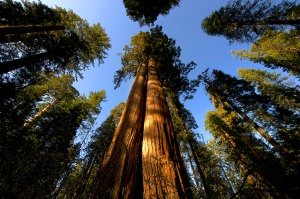 Giant Sequoias. Credit: Calaveras Big Trees State Park © 2010, California State Parks. Photo by Brian Baer