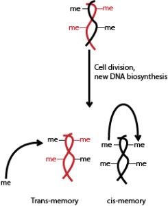 After cell division (and DNA being inherited, one parental strand in each new cell), examples of cis and trans memory mechanisms of epigenetic inheritance.  me = methyl group (epigenetic tag).