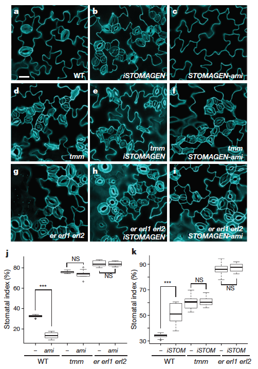 Figure 1 from Lee et al. 2015 (ref 1). Stomagen increases stomata density when over-expressed and density is decreased when there is less stomagen (stomagen-ami). This effect is only seen in wild-type, not in mutants for receptors tmm and er erl1 erl2.