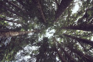 Douglas Firs, Oregon. Photo by Noel. CC2.0