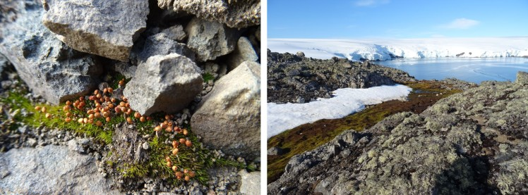 Small buttons of moss colonising newly exposed land (left) near to Collins Glacier on King George Island, Antarctica. Further down the slope (right) the moss has already created a river. Photos Sharon Robinson