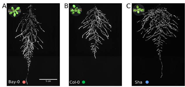 Three accessions of Arabidopsis imaged with the GLO-Roots system. From Rellan-Alvarez et al. 2015 (See References).