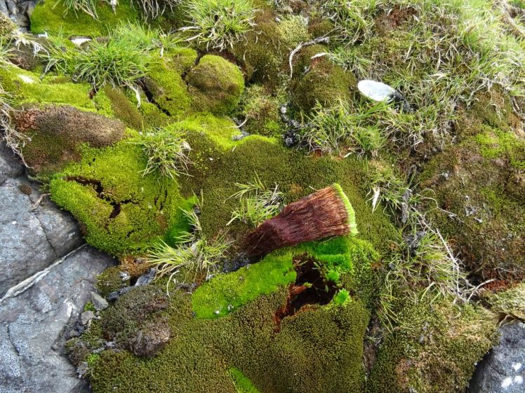 Mosses such as these from King George Island, Antarctica preserve signals of the climate down their shoots. Photo Sharon Robinson