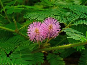 512px-mimosa_pudica_003