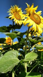 single-head-sunflower