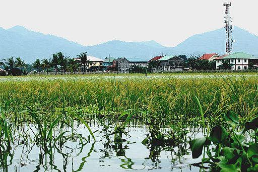 Typhoon_Ketsana_flooded_rice_field2