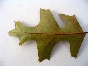 Benny Mazur Red oak leaf1414878786_1263e6c492_b