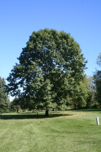 L Schaeffer red oak