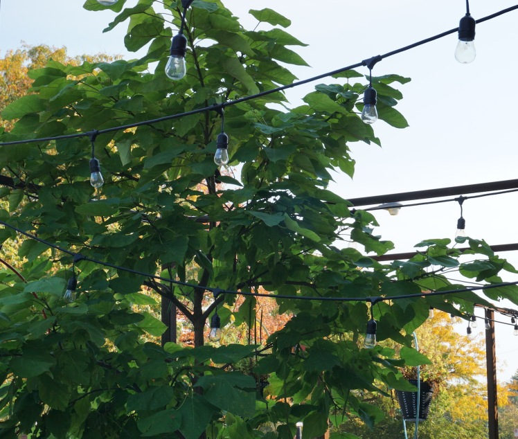 A tree grows within some strung up lights